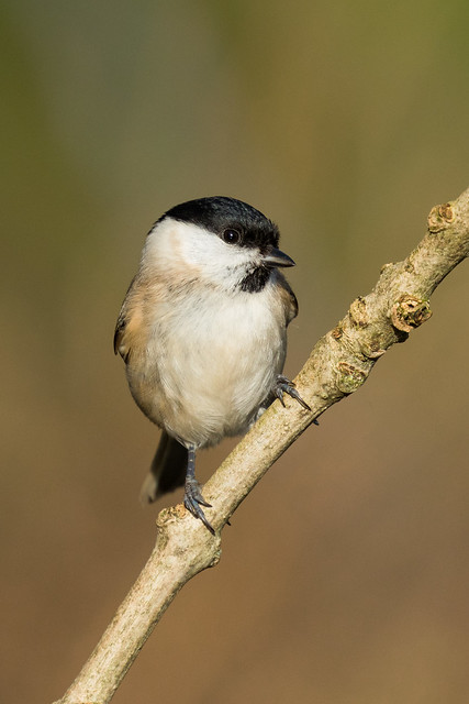 Marsh Tit, Canon EOS 7D MARK II, Canon EF 100-400mm f/4.5-5.6L IS II USM + 1.4x