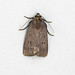 Mouse Moth, St Bees, Cumbria, England