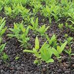 Santalum paniculatum seedlings