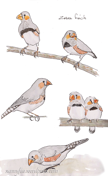 zebra finch sketch