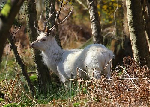 White Sika Deer - Cervus nippon - Arne RSPB Dorset -020417 (1)