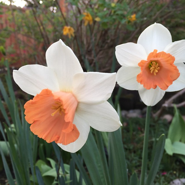 orange daffodils