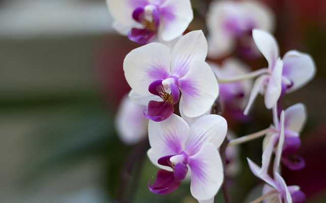 Purple White Orchid