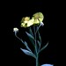58792.01 Helenium autumnale by horticultural art