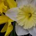 White Daffodil 01
