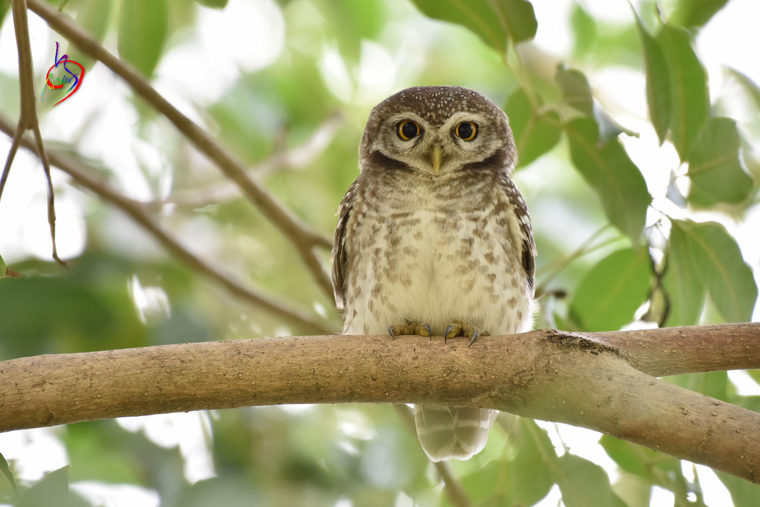 Spotted_Owlet_3907