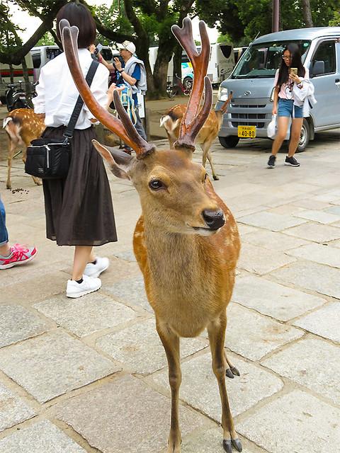 IMG_6650  Deer @Nara park Japan