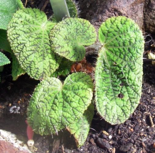 Begonia sizemoreae 38502726980_8093951810_o