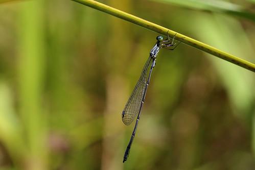Neosticta canescens