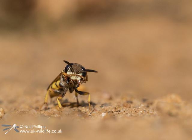 Bee wolf-8