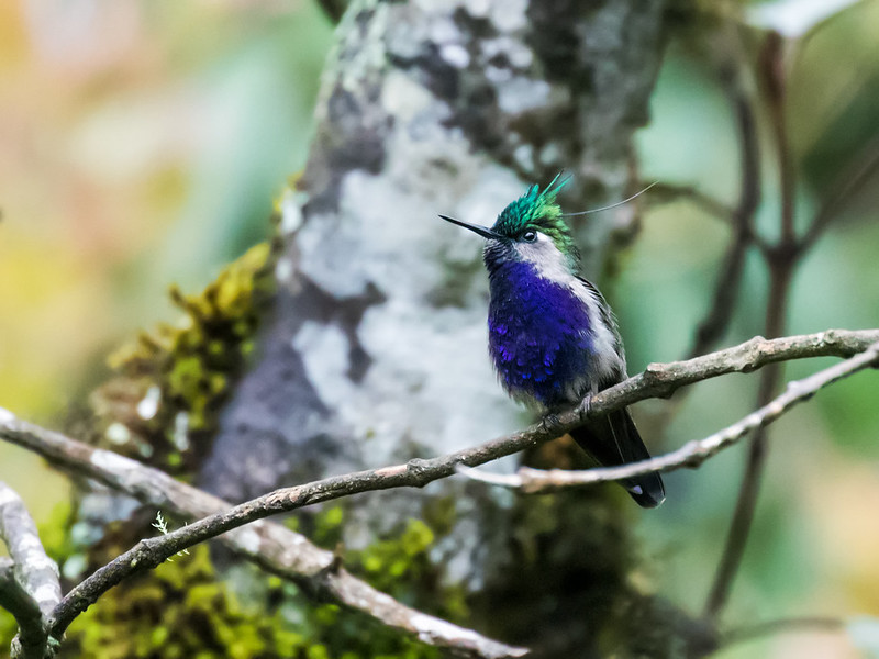 Green-crowned Plovercrest