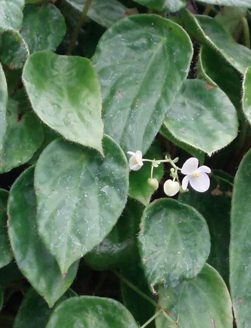 Begonia kingiana 39230249304_71d9b70c3c_o