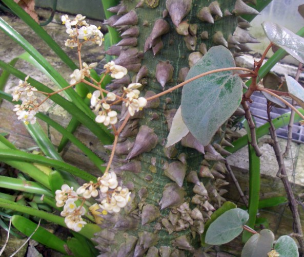 Begonia kuhlmannii 39251956614_969c1a88e8_o