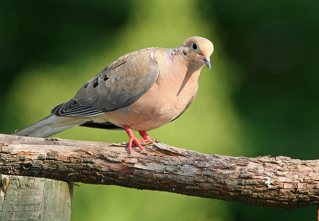 Mourning-Dove-6-26-2006-20D_1276