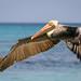 Pelican, Pelecanus occidentalis (in flight). por C.O'N