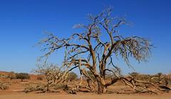 Desert Trees at Sossusvlei (19)