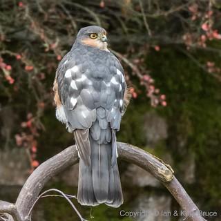 The Sparrowhawk: A Garden Visitor
