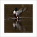 Shoveler (Anas clypeata)