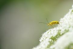 Cistèle jaune - Cteniopus sulphureus
