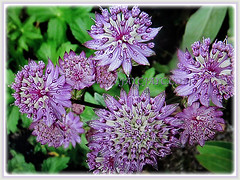 Mesmerising purple blossoms of Astrantia major (Greater Masterwort, Great Black Masterwort, Melancholy Gentlemen), March 1 2018