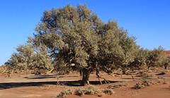 Desert Trees at Sossusvlei (18)