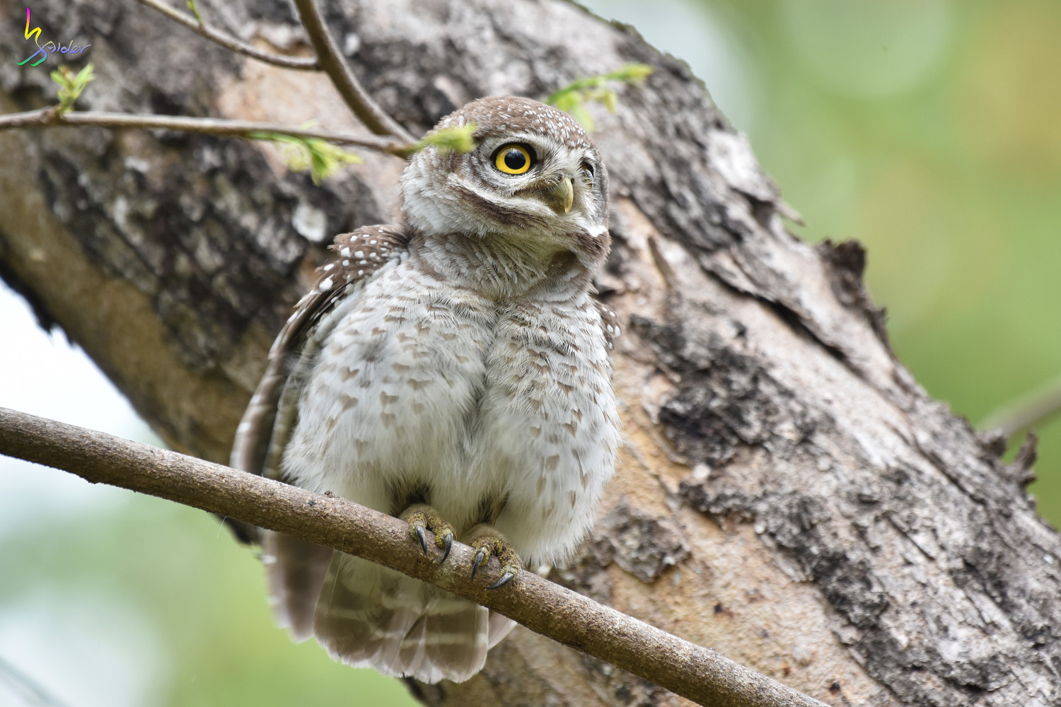 Spotted_Owlet_3797