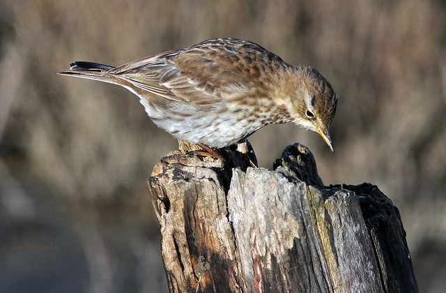 Spioncello - Water pipit