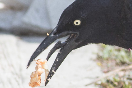 Great-tailed Grackle - weird tongue