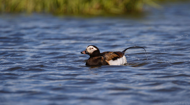Long-tailed Duck on an Arctic Pond