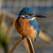 Kingfisher, Male-