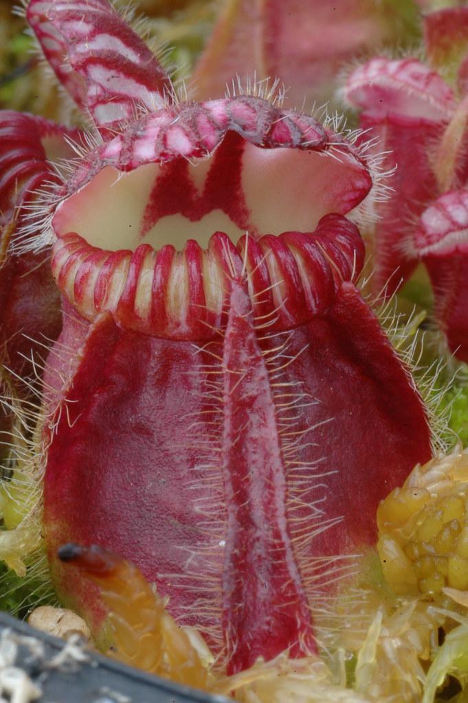 Cephalutos follicularis