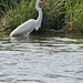 Great White Heron - Sandy Hook 03