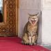 Katze, gähnend