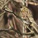Bruant zizi - Emberiza cirlus (Domaine Des Oiseaux, Ariège) 25 février 2018