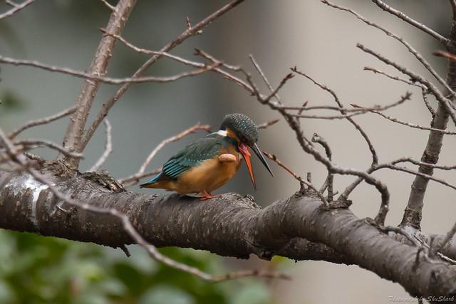 20180108-kingfisher-DSC_3260