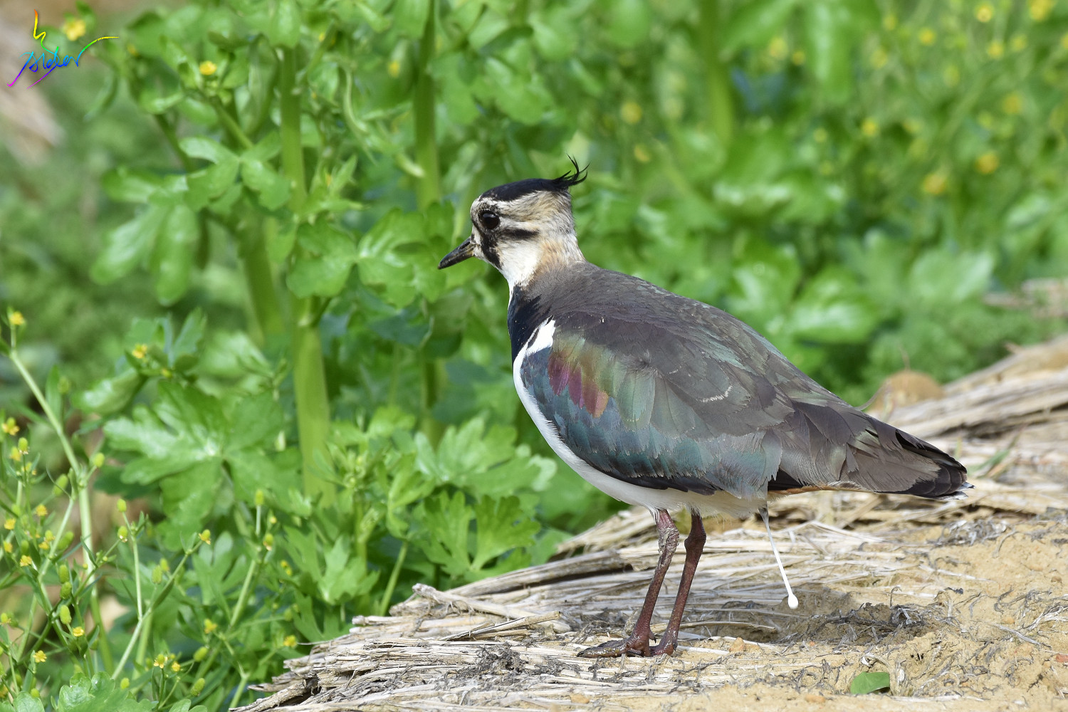 Northern_Lapwing_7873