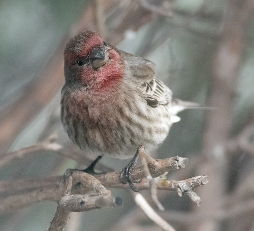 house_finch-20180122-100