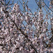 Almondflowers
