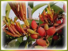 Flowers of Dendrophthoe pentandra (Malayan Mistletoe, Mango Mistletoe, Mistletoe Plant) borne on axillary racemes, 28 Jan 2018