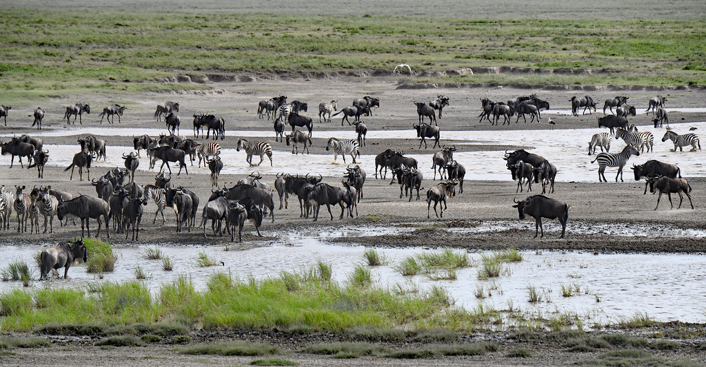 Wildebeests and zebras in Southern Serengeti Plain