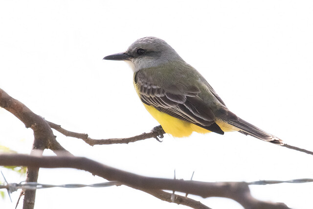 Tropical Kingbird, (Tyrannus melancholicus),  Miami-Dade County (near Everglades National Park), Florida