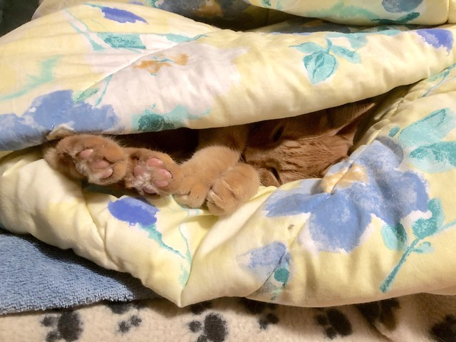 Caramel sleeping comfy under the covers