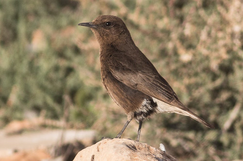 Black Wheatear - female