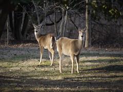Deer of Kenilworth