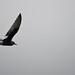 Moulting White-winged Black Tern (Chlidonias leucopterus)