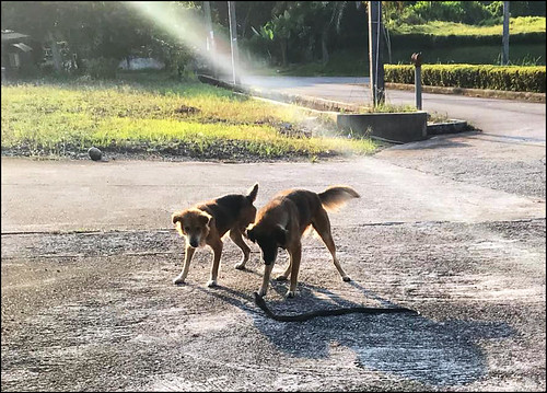 Dogs fighting a cobra