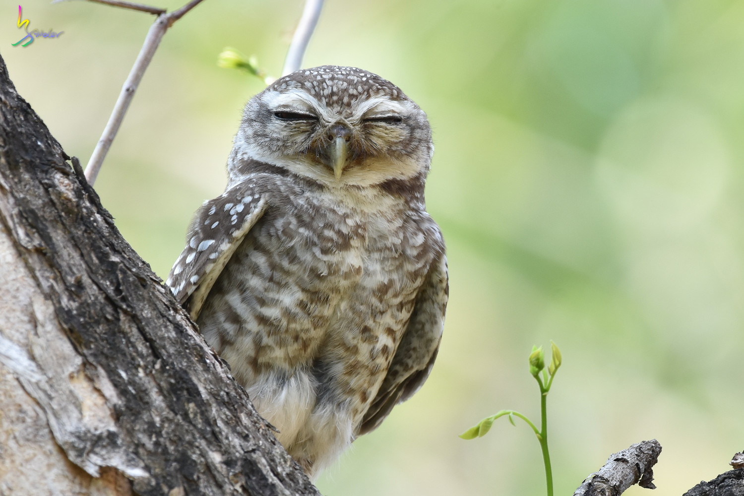 Spotted_Owlet_4919