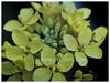 Brassica rapa var. rapifera (Turnip, White Turnip, Turnip Rape)