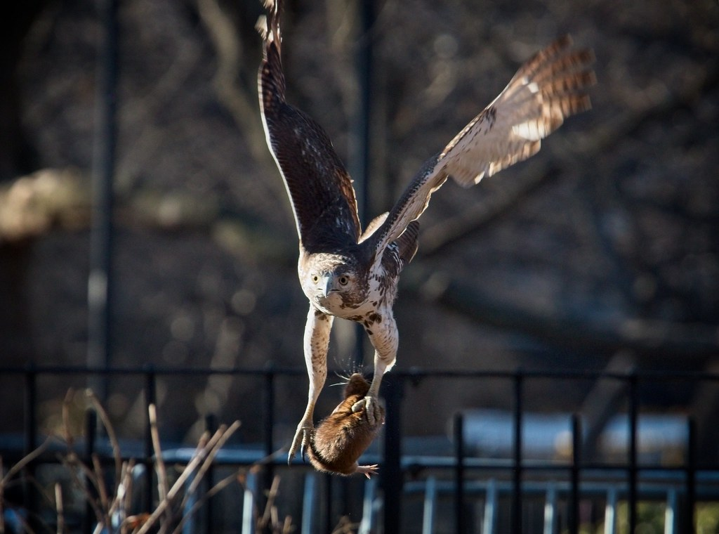 Immature red-tail catches a rat