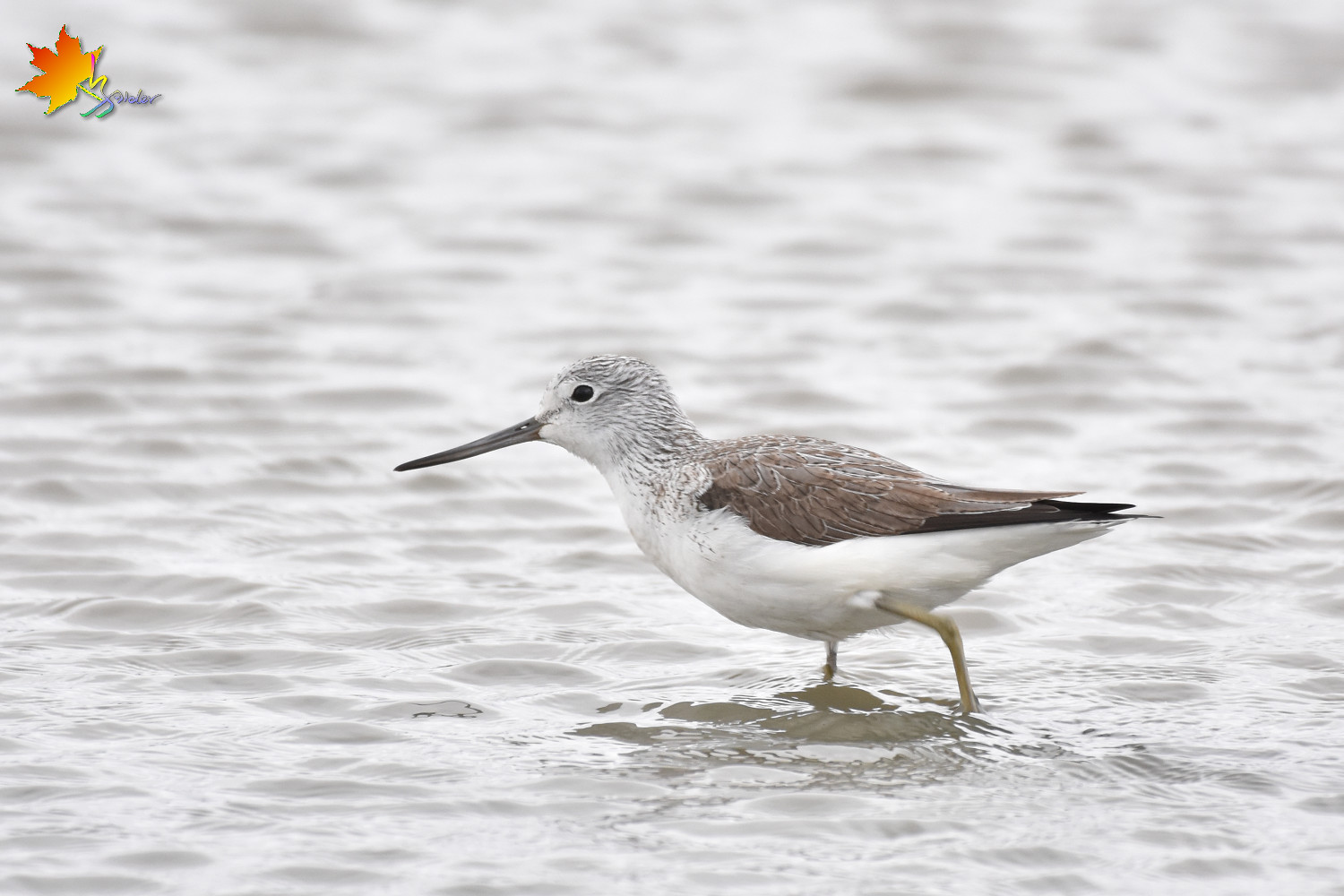 Common_Greenshank_8818